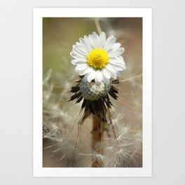 Dandelion Daisy Art Print