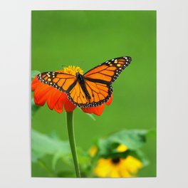 Butterfly on Mexican Sunflower Poster