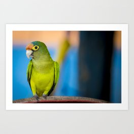 Green Parakeet on Chair in Nicaragua Art Print