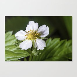 Strawberry flower Canvas Print