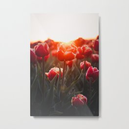 Dutch Tulip at Sunrise | Netherlands Travel Photography | Warm Colored Photo Print Metal Print