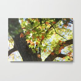 Changing Leaves in MN Metal Print