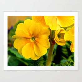 Yellow Heartsease Flower Art Print