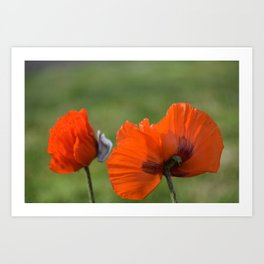 PRETTY POPPIES IN THE LATE AFTERNOON SPRING SUNSHINE Art Print