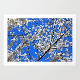 Cherry Blossoms in DC Art Print