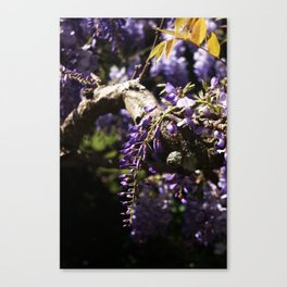 Hanging Wisteria 2 Canvas Print