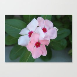 Blooming Beautiful Pink Impatiens Flowers Canvas Print