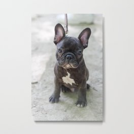 Louis the Frenchie Metal Print