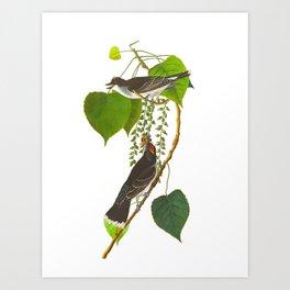 Tyrant Fly-catcher Bird Art Print