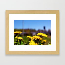 Concept flora . Dandelions in a field Framed Art Print