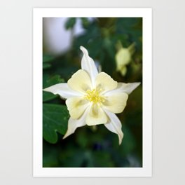 Yellow Columbine Flower Macro Art Print
