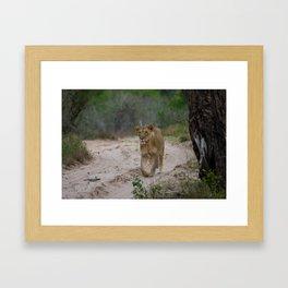Female Lion at Tembe Elephant Park Framed Art Print