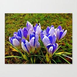 Blue Purple Crocuses Canvas Print