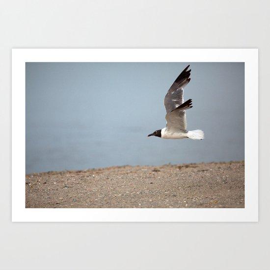 Laughing Gull in Flight Art Print