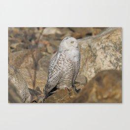 Snowy Owl on the Rocks Canvas Print