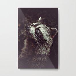 Reclusive Raccoon II. Photograph Metal Print