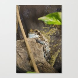 Veined tree frog Canvas Print