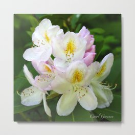 A Touch of Pink Rhododendron Metal Print