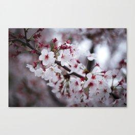 Sakuras Canvas Print