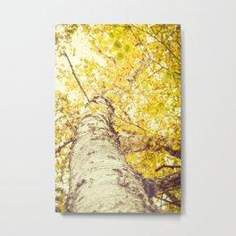 Birch Trees in the Fall  Metal Print