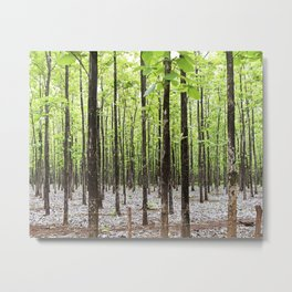 Teak Forest in Guanacaste, Costa Rica Metal Print