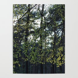 Sunlight and Oak Trees Poster