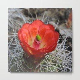 Red Blossom on a Hedgehog Cactus Metal Print