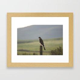 Coopers Hawk Framed Art Print