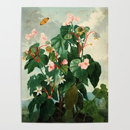 Pink Floral The Oblique-Leaved Begonias : Temple of Flora Poster