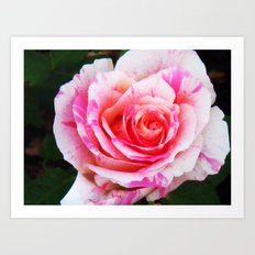 Red white Rose Close up Art Print