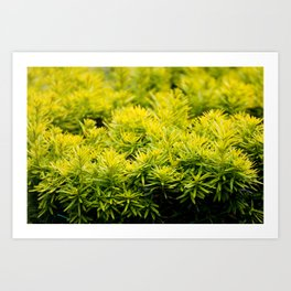Taxus baccata Yew new shoots Art Print