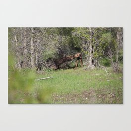 Moose Kiss Canvas Print