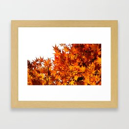Colorful Japanese Maple In Fall Photography Framed Art Print