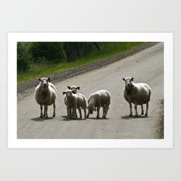 sheep on a country road Art Print