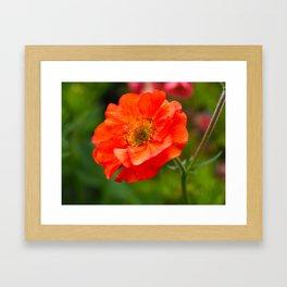 Geum Flower, Var. Scarlet Tempest Framed Art Print