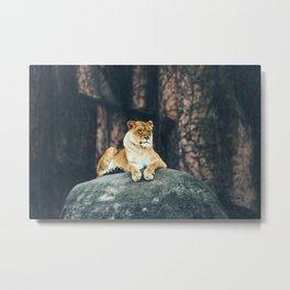 Lion on the rock Metal Print