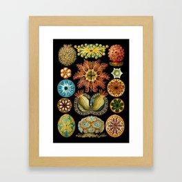 Ernst Haeckel - Scientific Illustration - Ascidiae Framed Art Print