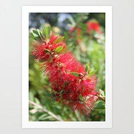 Calliandra Haematocephala Red Powderpuff  Art Print