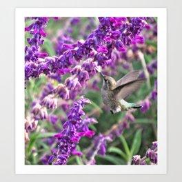 Hummingbird at Mexican Sage Art Print