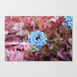Blue Flowers, Red Thorns ~ Cedars of Lebanon, Tennessee Canvas Print