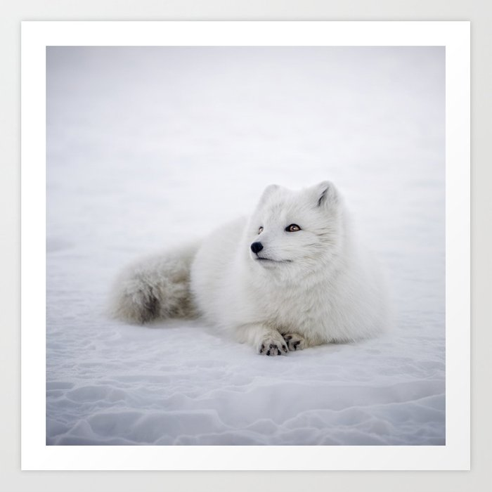 76f39c17815 White snow arctic fox Art Print by patternlady