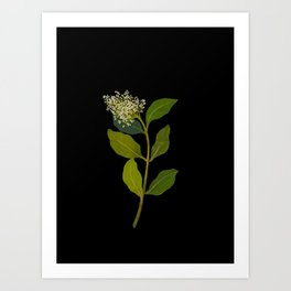 Olea Capensis Mary Delany British Botanical Floral Art Paper Flowers Black Background Art Print