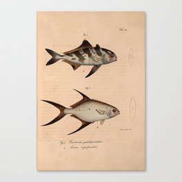 Vintage Print - Atlas of a Journey in North Africa (1828) - Black-Banded Trevally Canvas Print