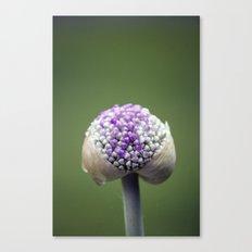 Starting Allium Canvas Print