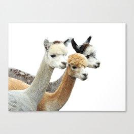 Alpaca Trio Canvas Print