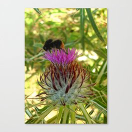 A bee and its donkey thorn Canvas Print