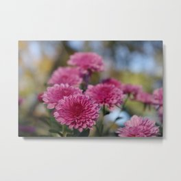 Rosy Chrysanthemum with gold leaves, blue sky Metal Print