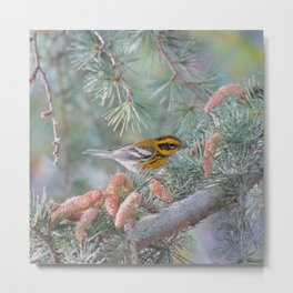 A Townsend's Warbler Spruces Up Metal Print
