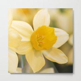 Tête-à-Tête Daffodil Metal Print