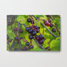 Summer Chokecherries Metal Print